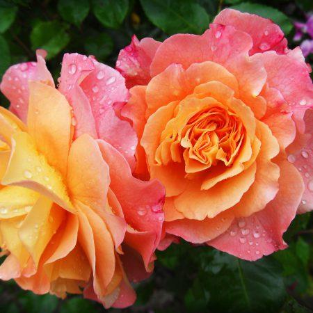 Festa delle Rose a Rocca Porena